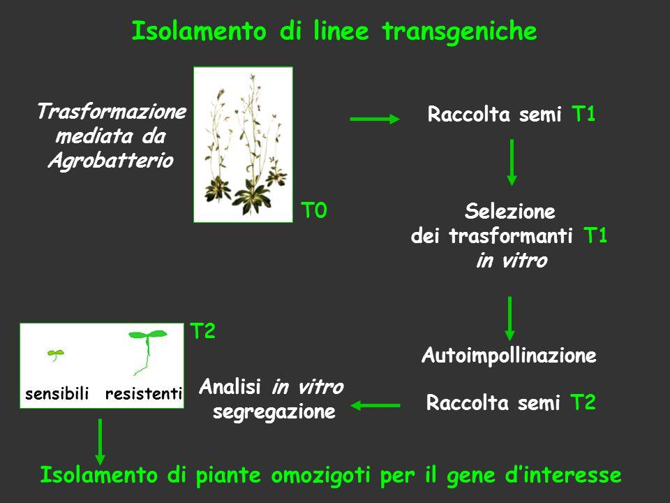 Analisi in vitro segregazione T2 sensibiliresistenti Raccolta semi T1 Isolamento di linee transgeniche Trasformazione mediata da Agrobatterio T0 Racco