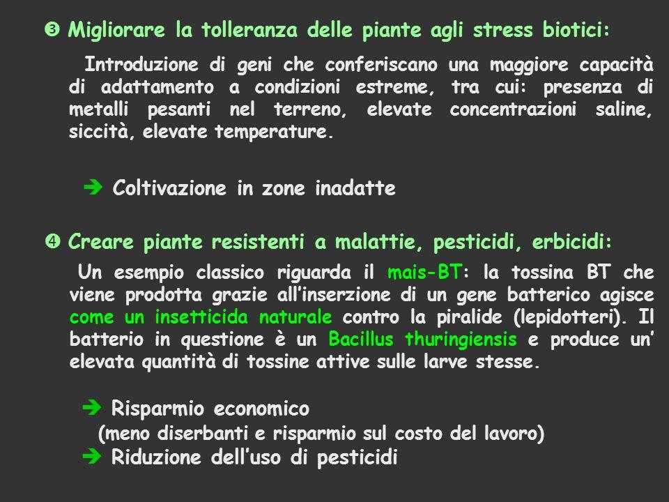  Migliorare la tolleranza delle piante agli stress biotici:  Coltivazione in zone inadatte Un esempio classico riguarda il mais-BT: la tossina BT che viene prodotta grazie all'inserzione di un gene batterico agisce come un insetticida naturale contro la piralide (lepidotteri).