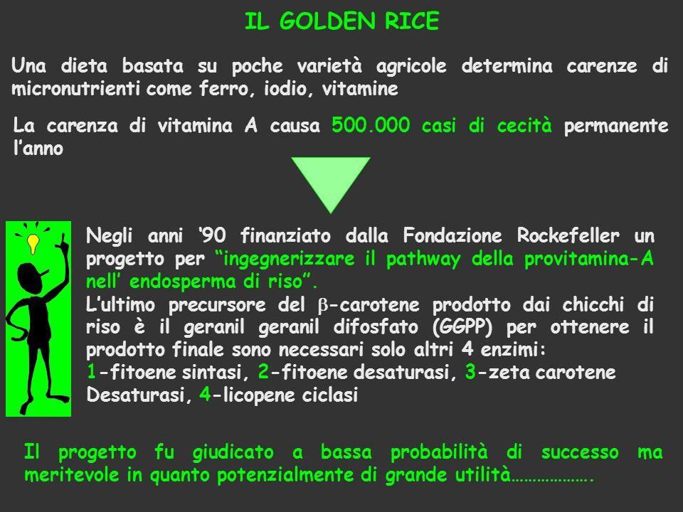 IL GOLDEN RICE Una dieta basata su poche varietà agricole determina carenze di micronutrienti come ferro, iodio, vitamine La carenza di vitamina A cau