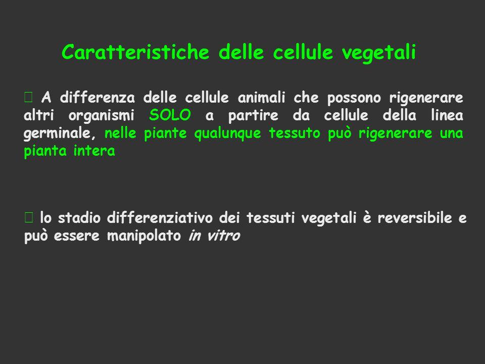 Caratteristiche delle cellule vegetali  A differenza delle cellule animali che possono rigenerare altri organismi SOLO a partire da cellule della lin