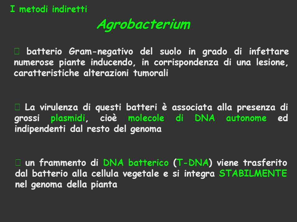 Agrobacterium  batterio Gram-negativo del suolo in grado di infettare numerose piante inducendo, in corrispondenza di una lesione, caratteristiche al