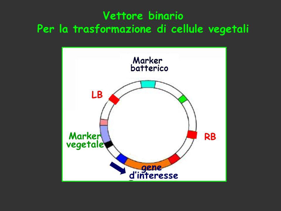 Perché:  tempo di generazione molto breve: 6 sett./ciclo  taglia piccola e gran numero di eredi  genoma nucleare piccolo (125 Mb)  poco DNA ripetuto  facilmente trasformabile ad alta efficienza Arabidopsis thaliana pianta modello per la biologia molecolare vegetale