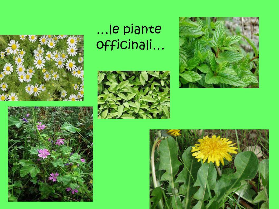 …le piante officinali…