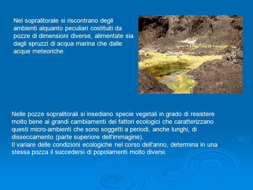 Nel sopralitorale si riscontrano degli ambienti alquanto peculiari costituiti da pozze di dimensioni diverse, alimentate sia dagli spruzzi di acqua ma