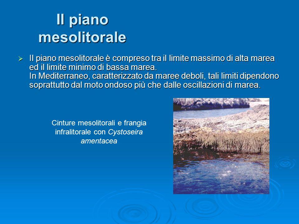 Il piano mesolitorale  Il piano mesolitorale è compreso tra il limite massimo di alta marea ed il limite minimo di bassa marea. In Mediterraneo, cara