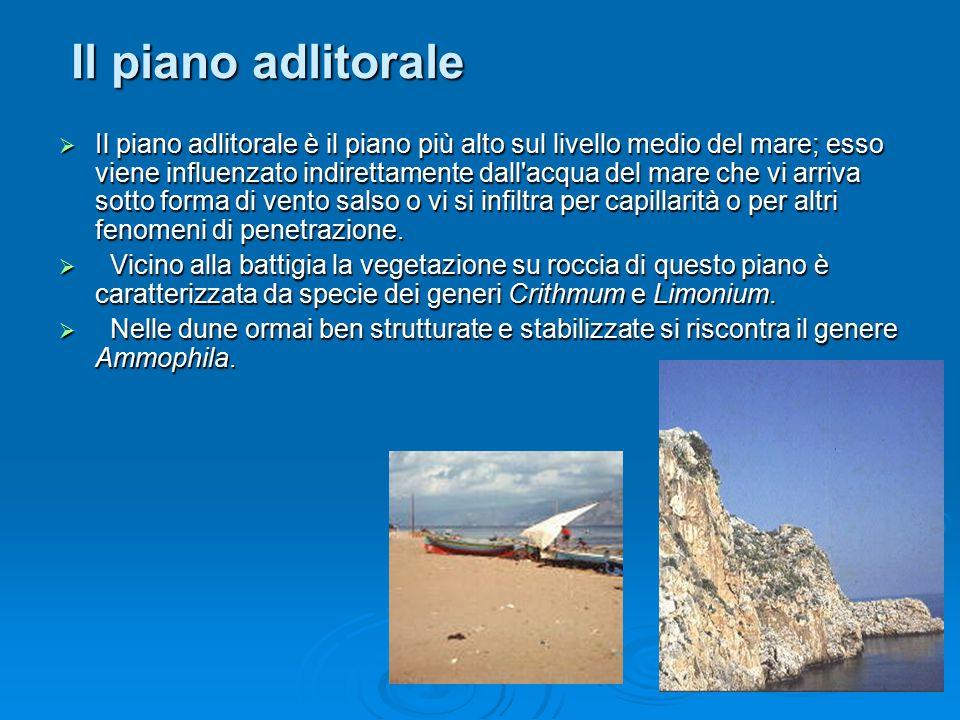 Il piano adlitorale  Il piano adlitorale è il piano più alto sul livello medio del mare; esso viene influenzato indirettamente dall'acqua del mare ch