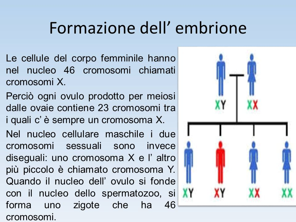 Formazione dell' embrione Le cellule del corpo femminile hanno nel nucleo 46 cromosomi chiamati cromosomi X. Perciò ogni ovulo prodotto per meiosi dal