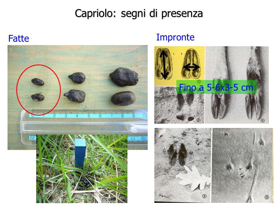 Capriolo: segni di presenza Fatte Impronte Fino a 5-6x3-5 cm