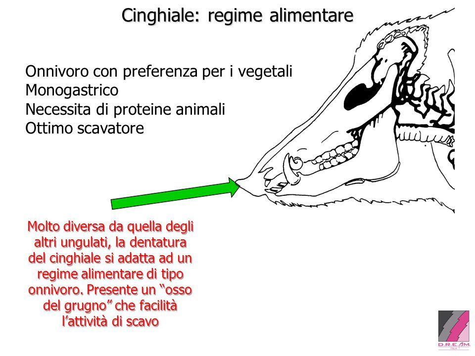 Cinghiale: regime alimentare Onnivoro con preferenza per i vegetali Monogastrico Necessita di proteine animali Ottimo scavatore Molto diversa da quella degli altri ungulati, la dentatura del cinghiale si adatta ad un regime alimentare di tipo onnivoro.