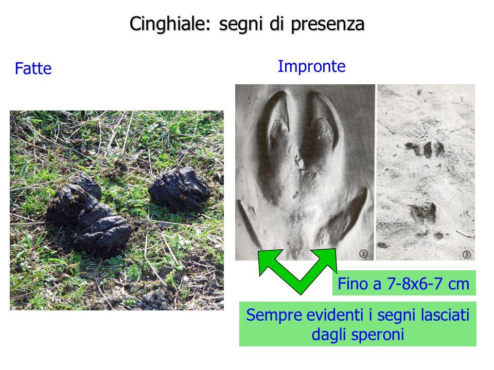 Cinghiale: segni di presenza Fatte Impronte Sempre evidenti i segni lasciati dagli speroni Fino a 7-8x6-7 cm