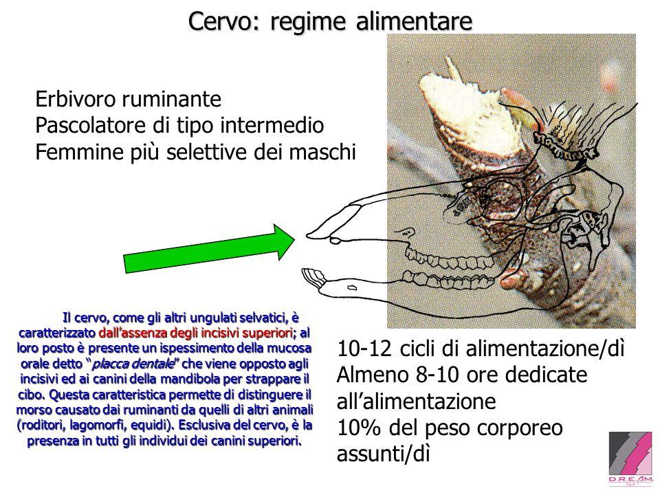 Cervo: regime alimentare Erbivoro ruminante Pascolatore di tipo intermedio Femmine più selettive dei maschi Il cervo, come gli altri ungulati selvatic