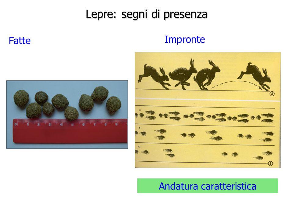 Lepre: segni di presenza Fatte Impronte Andatura caratteristica
