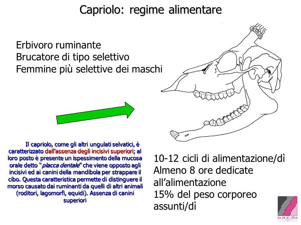 Capriolo: regime alimentare Erbivoro ruminante Brucatore di tipo selettivo Femmine più selettive dei maschi Il capriolo, come gli altri ungulati selva