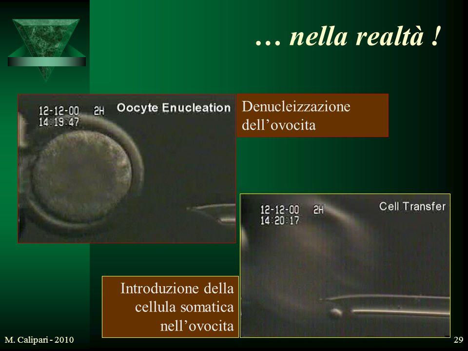 M. Calipari - 201029 … nella realtà ! Denucleizzazione dell'ovocita Introduzione della cellula somatica nell'ovocita