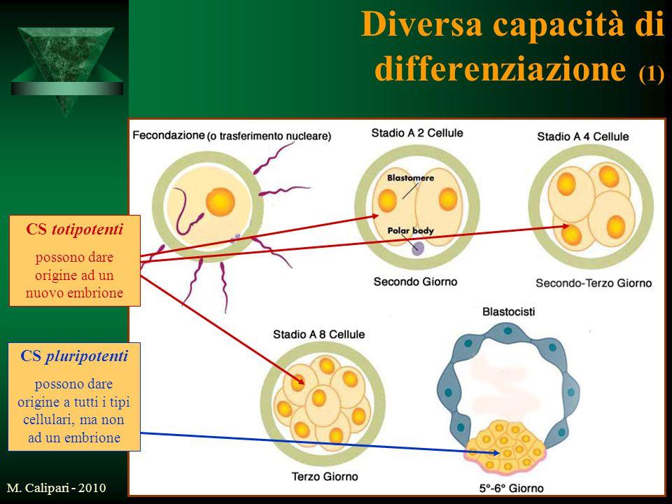M. Calipari - 20106 Diversa capacità di differenziazione (1) CS totipotenti possono dare origine ad un nuovo embrione CS pluripotenti possono dare ori