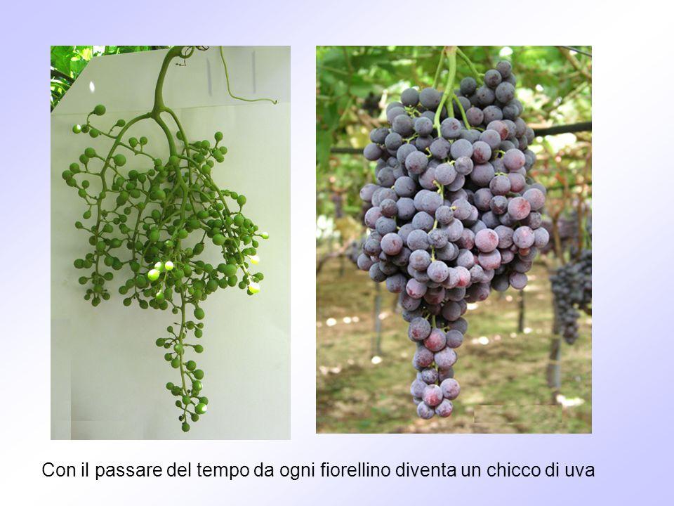 Con il passare del tempo da ogni fiorellino diventa un chicco di uva