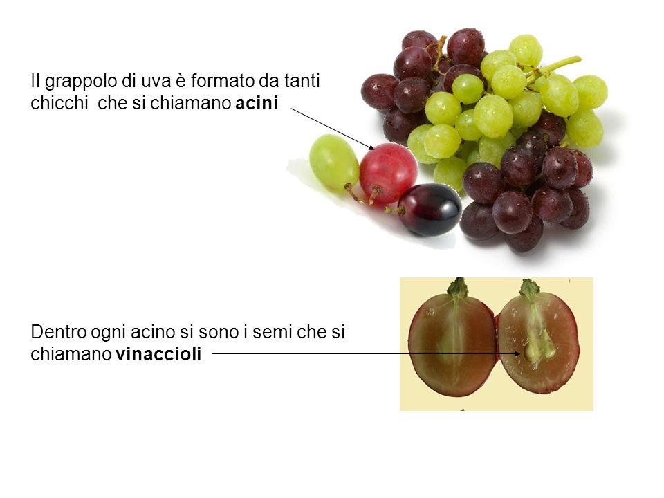 Il grappolo di uva è formato da tanti chicchi che si chiamano acini Dentro ogni acino si sono i semi che si chiamano vinaccioli