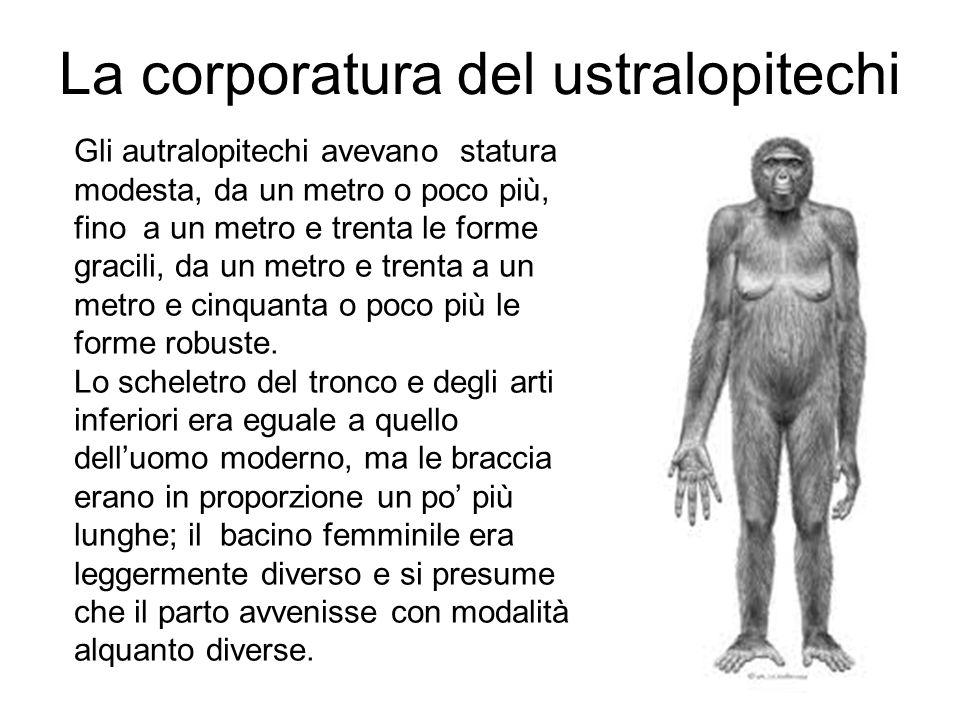 La corporatura del ustralopitechi Gli autralopitechi avevano statura modesta, da un metro o poco più, fino a un metro e trenta le forme gracili, da un metro e trenta a un metro e cinquanta o poco più le forme robuste.