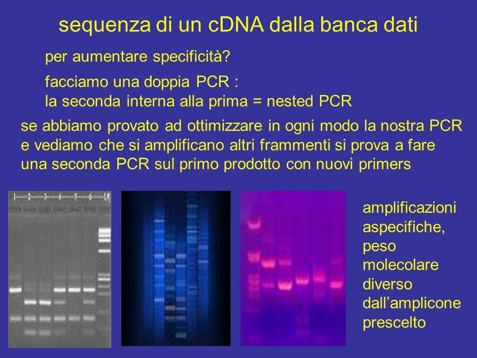 sequenza di un cDNA dalla banca dati per aumentare specificità? facciamo una doppia PCR : la seconda interna alla prima = nested PCR se abbiamo provat