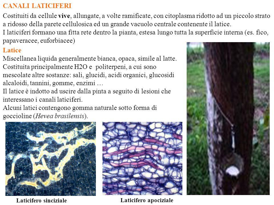 CANALI LATICIFERI Costituiti da cellule vive, allungate, a volte ramificate, con citoplasma ridotto ad un piccolo strato a ridosso della parete cellul