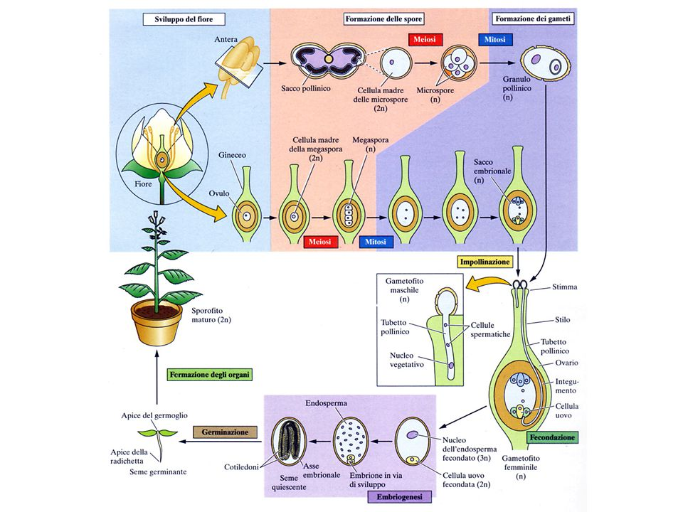 EMBRIOGENESI NELLE PIANTE SUPERIORI VIENE SUDDIVISA: * 1° FASE - MORFOGENESI (viene definito l'asse polare del corpo della pianta con la specificazione degli apici meristematici e radicali, tessuti e organi * 2° FASE- MATURAZIONE DELL'EMBRIONE (accumulo di sostanze di Riserva) * FASE FINALE: l'embrione si prepara per l'essiccamento, essiccamento e arresto nello sviluppo)