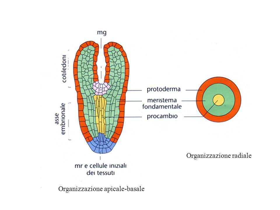 Zigote Cellula apicale Cellula basale sospensore Proembrione ipofisi cotiledoni ipocotile radice