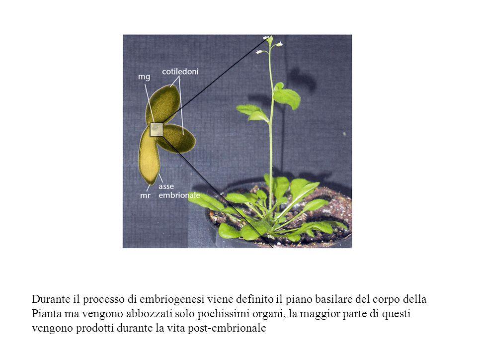 Durante il processo di embriogenesi viene definito il piano basilare del corpo della Pianta ma vengono abbozzati solo pochissimi organi, la maggior pa