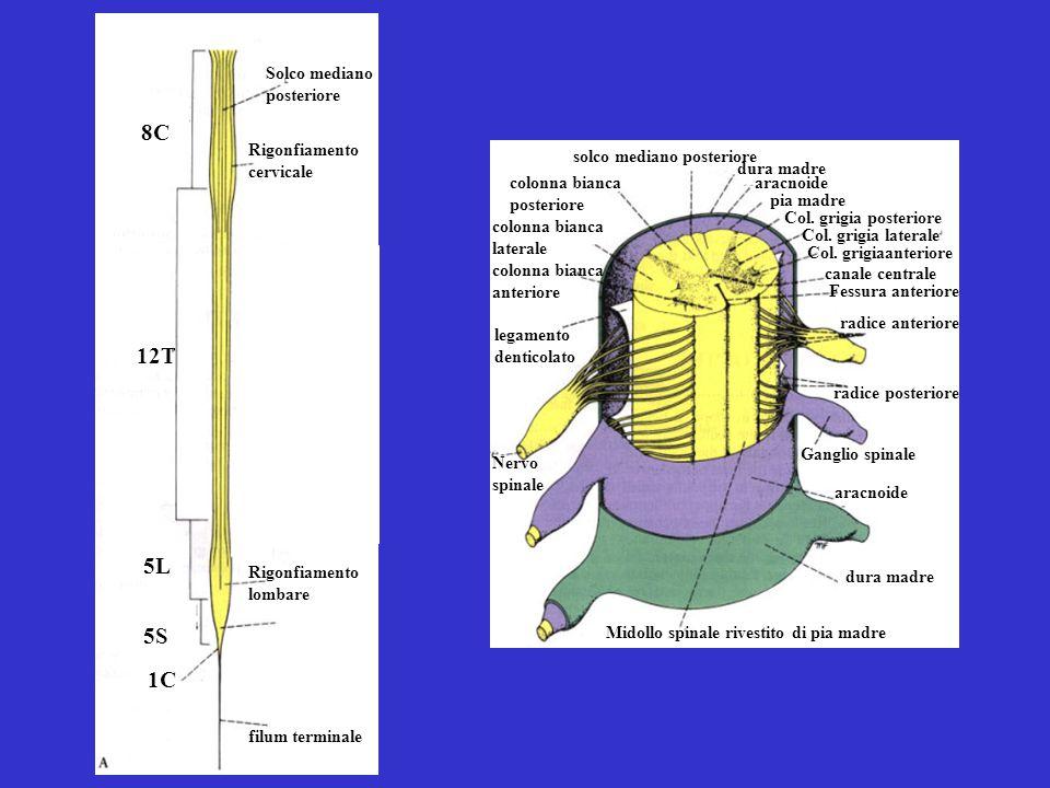 8C 1C 12T 5L 5S Solco mediano posteriore Rigonfiamento cervicale Rigonfiamento lombare filum terminale Midollo spinale rivestito di pia madre Ganglio