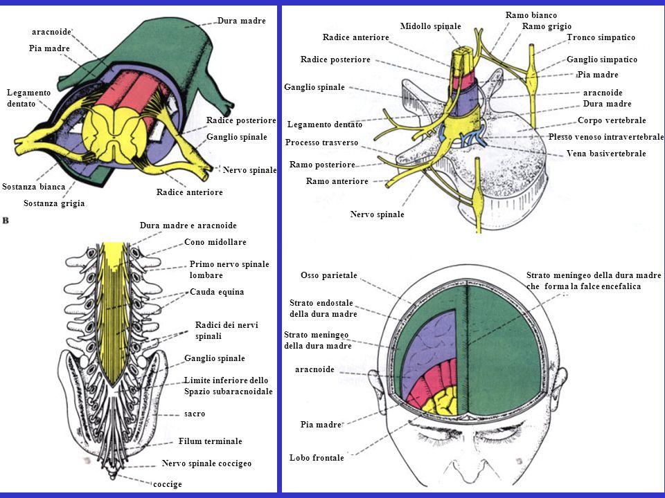 Sostanza grigia Sostanza bianca Legamento dentato Pia madre aracnoide Dura madre Nervo spinale Ganglio spinale Radice anteriore Dura madre e aracnoide