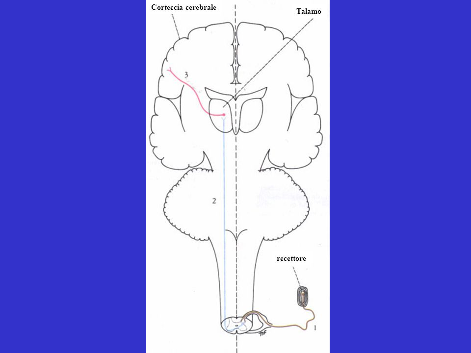 Talamo recettore Corteccia cerebrale