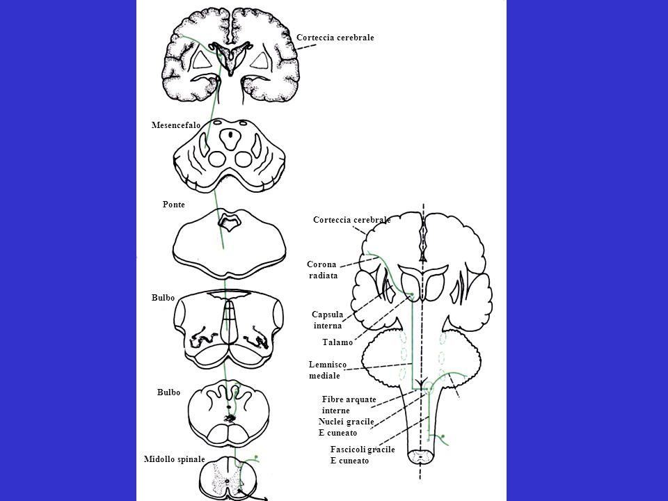 Fascicoli gracile E cuneato Nuclei gracile E cuneato Fibre arquate interne Lemnisco mediale Talamo Capsula interna Corona radiata Corteccia cerebrale