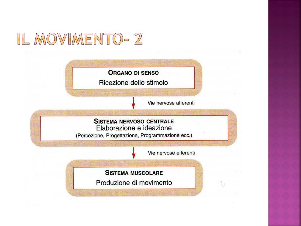In base ai diversi centri di regolazione del sistema nervoso i movimenti vengono divisi in:  MOVIMENTI RIFLESSI  MOVIMENTI VOLONTARI  MOVIMENTI AUTOMATIZZATI
