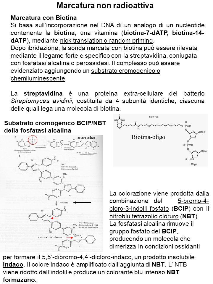 Marcatura non radioattiva Marcatura con Biotina Si basa sull'incorporazione nel DNA di un analogo di un nucleotide contenente la biotina, una vitamina (biotina-7-dATP, biotina-14- dATP), mediante nick translation o random priming.