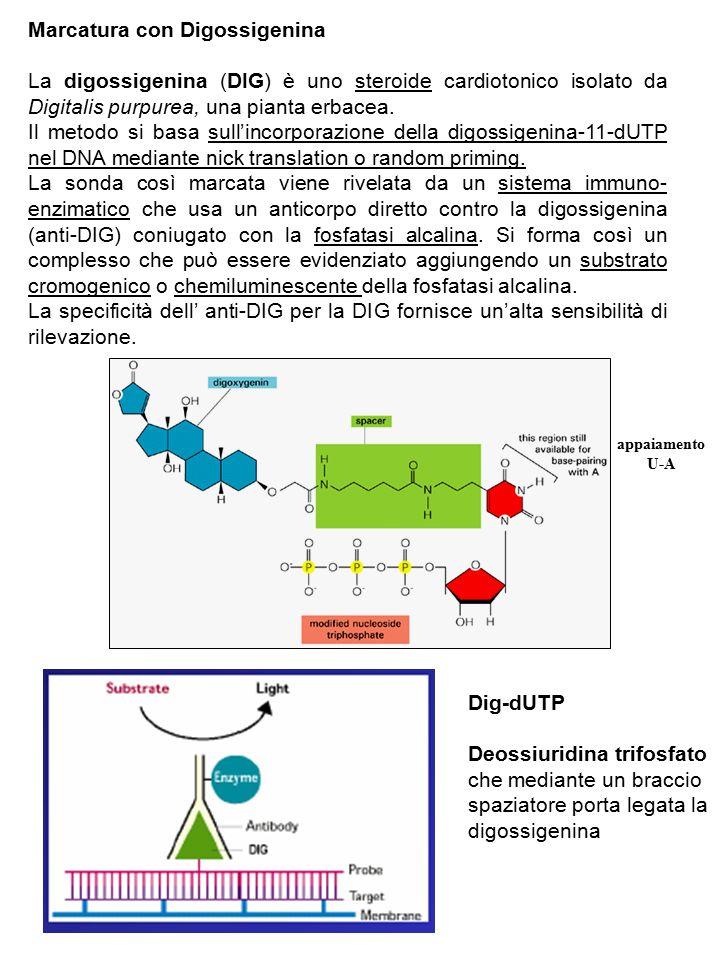Marcatura con Digossigenina La digossigenina (DIG) è uno steroide cardiotonico isolato da Digitalis purpurea, una pianta erbacea.