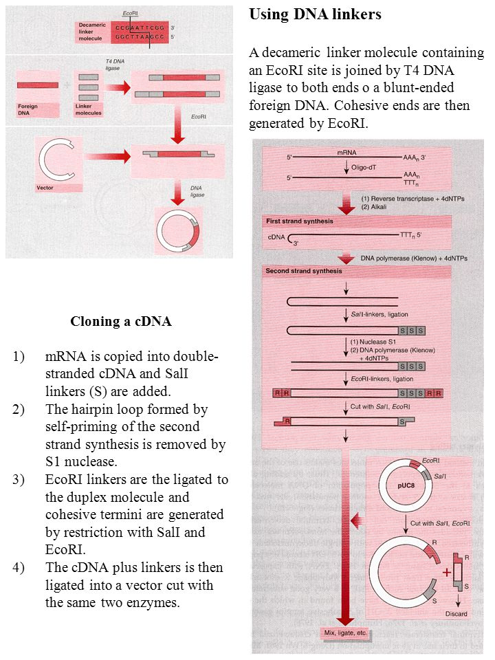 Using DNA linkers A decameric linker molecule containing an EcoRI site is joined by T4 DNA ligase to both ends o a blunt-ended foreign DNA. Cohesive e