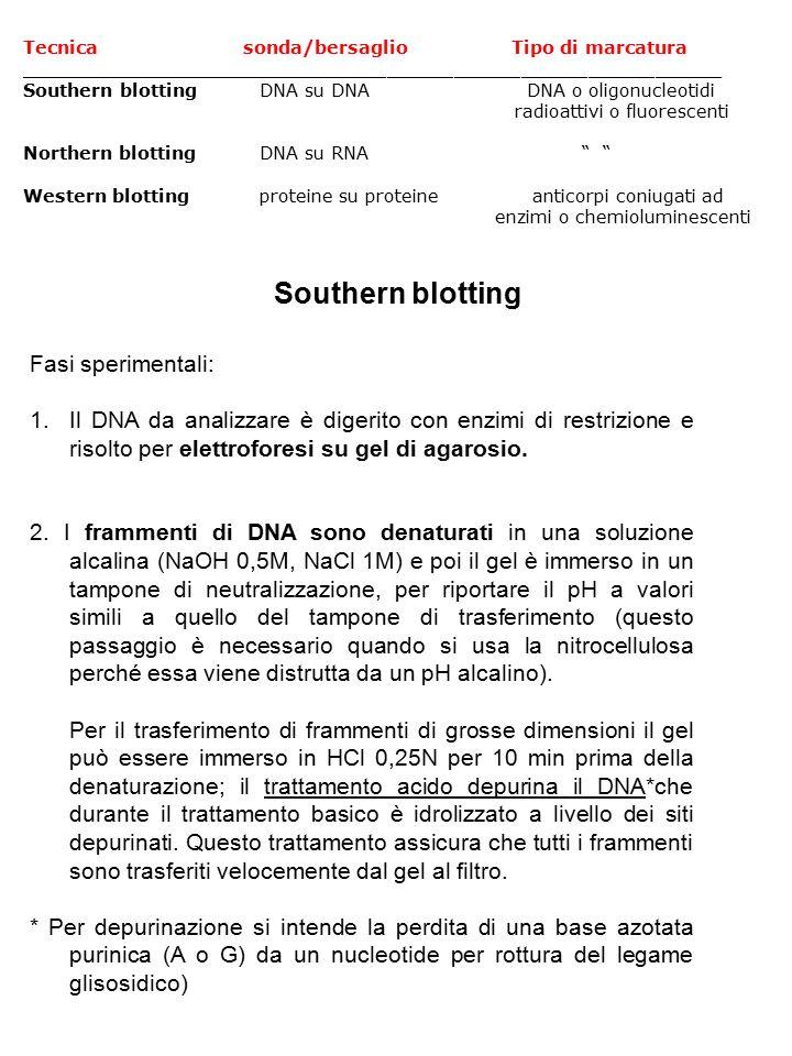 Tecnica sonda/bersaglio Tipo di marcatura _______________________________________________________________ Southern blotting DNA su DNA DNA o oligonucleotidi radioattivi o fluorescenti Northern blotting DNA su RNA Western blotting proteine su proteine anticorpi coniugati ad enzimi o chemioluminescenti Fasi sperimentali: 1.Il DNA da analizzare è digerito con enzimi di restrizione e risolto per elettroforesi su gel di agarosio.