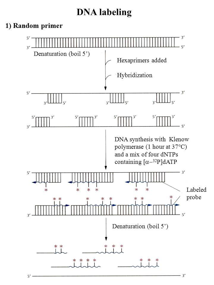 2) Nick translation DNA degradation Add  32 P-dATP or  32 P-CTP