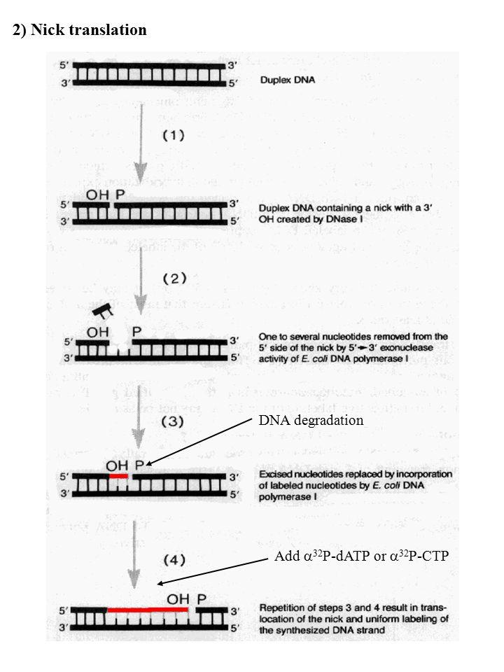 G-3' CTTAA-5' End-labeling 5'-GGG 3'-CCC 1- Fill-in reaction dTTP +  [ 32 P]dATP + Klenow fragment EcoRISmaI 5' 3'5' 3' 5' protruding end3' protruding end (PstI, SacI, KpnI, BglI) dGTP + dTTP + dCTP +  [ 32 P]dATP + Klenow fragment X GAATT-3' CTTAA-5' 5'-GGG 3'-CCC EcoRISmaI 2- Kinase reaction DNA fragment CIP or BAP 5'……NpNpNpG 3'……NpNpNpCpTpTpA 5'…..pNpNpNpG 3'……NpNpNpCpTpTpAp Polynucleotide Kinase +  [ 32 P]ATP * * 5'…..pNpNpNpG 3'……NpNpNpCpTpTpAp