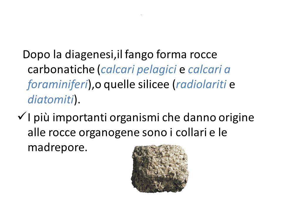 . Dopo la diagenesi,il fango forma rocce carbonatiche (calcari pelagici e calcari a foraminiferi),o quelle silicee (radiolariti e diatomiti). I più im