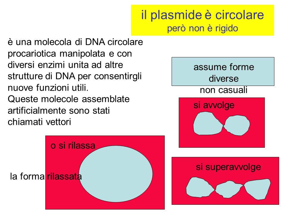 il plasmide è circolare però non è rigido assume forme diverse non casuali si avvolge si superavvolge la forma rilassata o si rilassa è una molecola d
