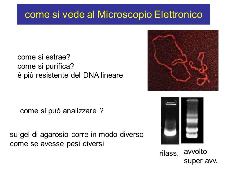 come si vede al Microscopio Elettronico come si estrae? come si purifica? è più resistente del DNA lineare come si può analizzare ? su gel di agarosio