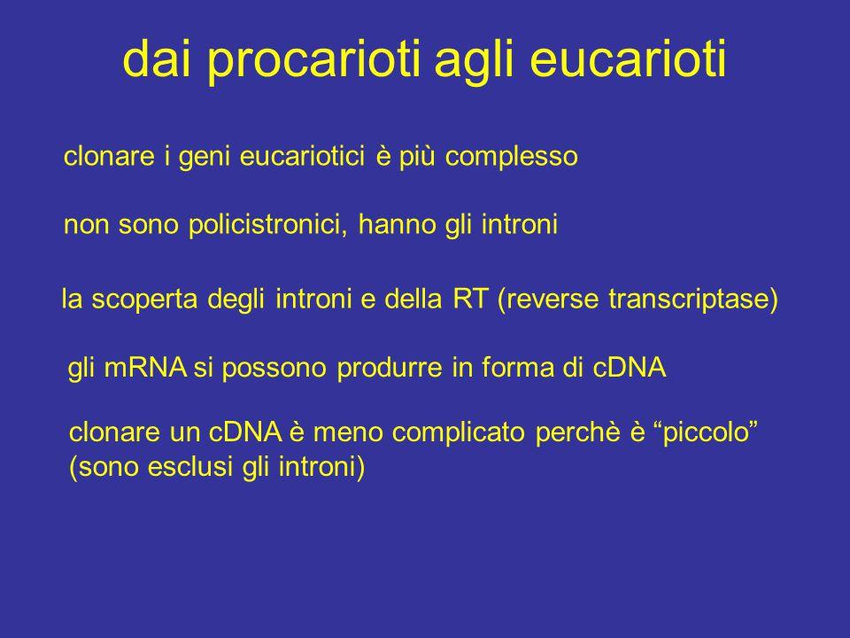 dai procarioti agli eucarioti clonare i geni eucariotici è più complesso non sono policistronici, hanno gli introni la scoperta degli introni e della