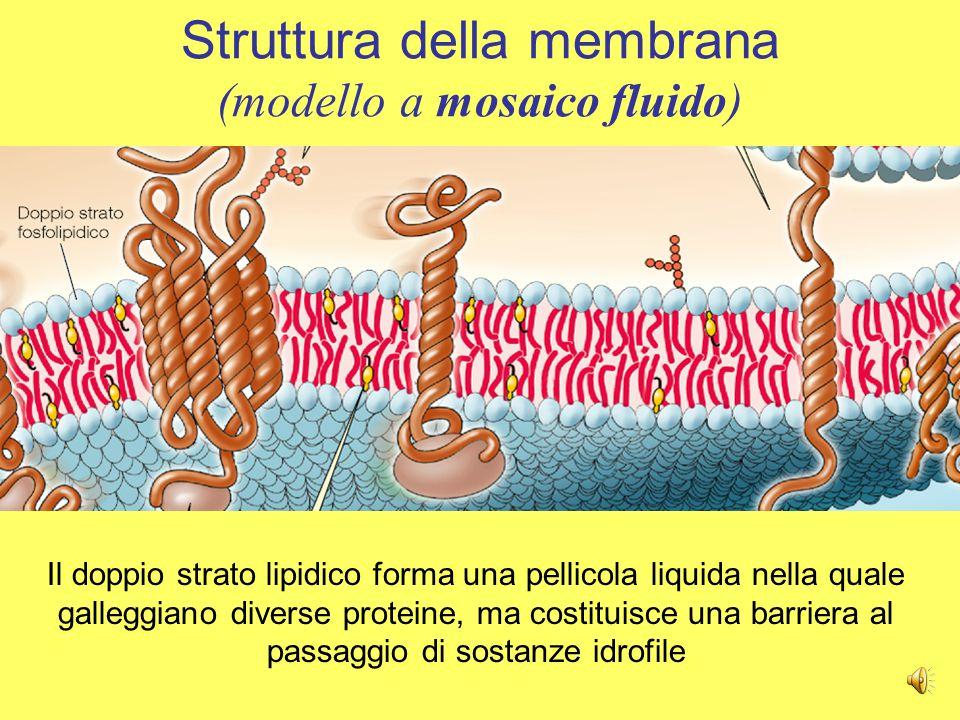 La membrana plasmatica è un sottile involucro di circa 7-9 nm di spessore; essa avvolge la cellula e svolge funzioni di LA MEMBRANA PLASMATICA –Isolamento fisico –Regolazione degli scambi –Sensibilità –Supporto strutturale