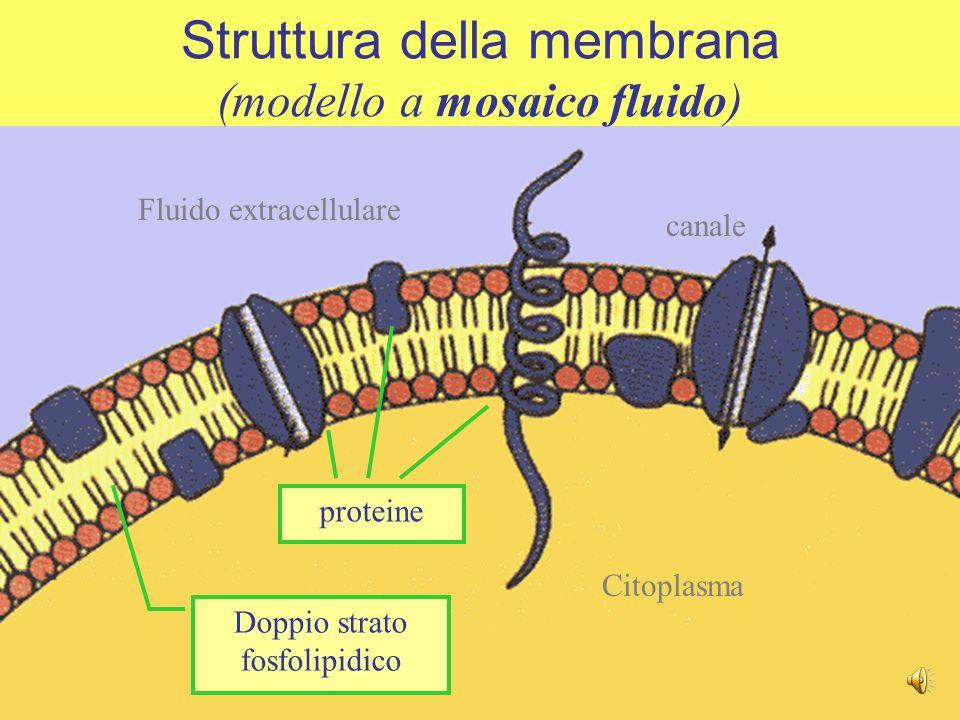 Il doppio strato lipidico forma una pellicola liquida nella quale galleggiano diverse proteine, ma costituisce una barriera al passaggio di sostanze idrofile Struttura della membrana (modello a mosaico fluido)