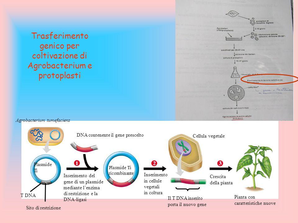 Trasferimento genico per coltivazione di Agrobacterium e protoplasti Agrobacterium tumefaciens DNA contenente il gene prescelto Plasmide Ti 1 Inserime