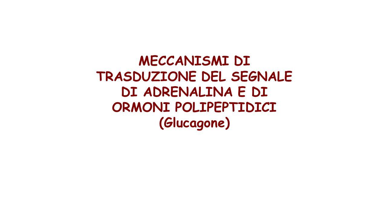 MECCANISMI DI TRASDUZIONE DEL SEGNALE DI ADRENALINA E DI ORMONI POLIPEPTIDICI (Glucagone)
