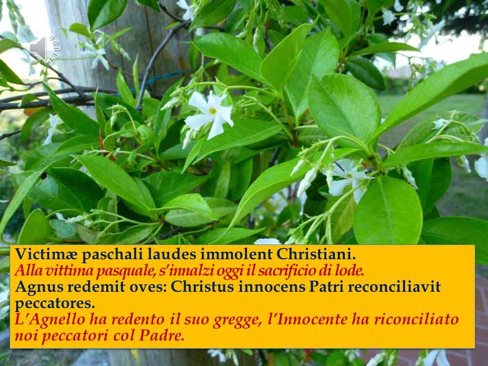 Victimæ paschali laudes immolent Christiani.