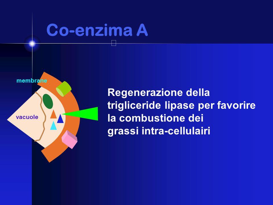 Co-enzima A Co-enzima A membrane vacuole Regenerazione della trigliceride lipase per favorire la combustione dei grassi intra-cellulairi