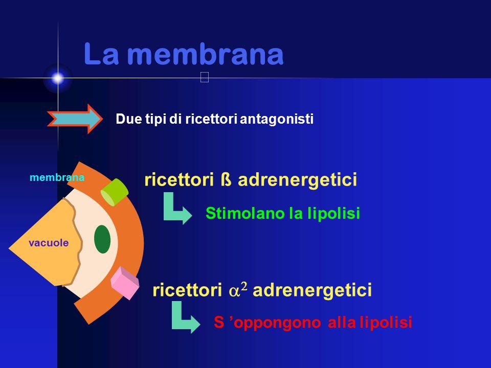 La membrana La membrana Due tipi di ricettori antagonisti ricettori ß adrenergetici Stimolano la lipolisi ricettori   adrenergetici S 'oppongono alla lipolisi membrana vacuole