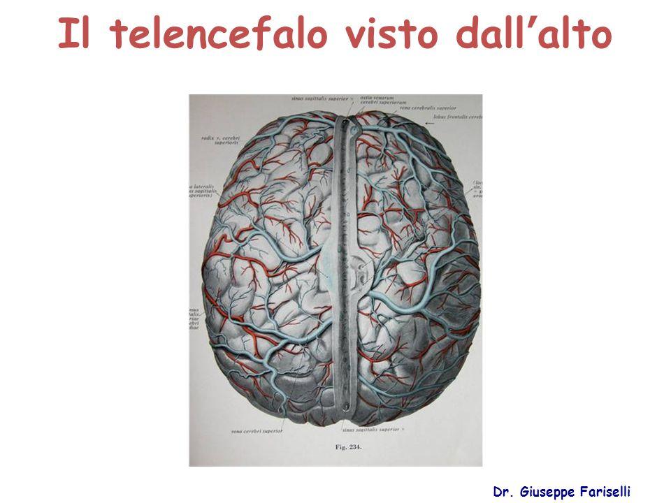 Il telencefalo visto dall'alto Dr. Giuseppe Fariselli